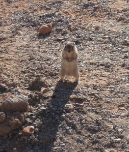 Ground Squirrel watching me write in my notebook shortly after sunrise.