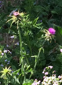 Milk Thistle growing in my neighborhood.