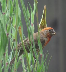 House Finch eating from a plant in my backyard.