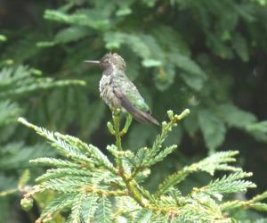 A humming bird sits on the sequoia outside the window.