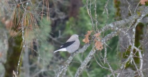 This bird was part of a flock that pecked at the ground under the trees where the snow was melted and hopped around from branch to branch.
