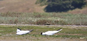 Two Caspian Terns napping in a place with few daytime predators.